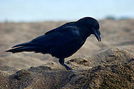 Raven Foraging at Rodeo Beach, Golden Gate National Recreation Area, California
