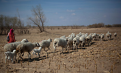 A Mongolian ethnic minority herder leads her sheep in search for grazing grounds in Kunlun Qi in the Inner Mongolia Autonomous Region of China on 24 April 2011. Inner Mongolia, China's third largest province, is fighting severe desertification, much like the provinces of Xinjiang, Gansu, Qinghai, Ningxia, Shaanxi, Heilongjiang and Hebei. Over-grazing, logging, expanding farms and population pressure, along with droughts have steadily turned once fertile grasslands into sandy plains. China has adopted measures to stop the land degradation such as reforestation, resettling nomadic Mongolians from grasslands to urban areas and restricting grazing areas. Tree planting has become a key government effort to combat desertification and supporting the government's reforestation endeavors are numerous non-governmental organizations (NGOs), such as Shanghai Roots & Shoots. The NGO launched the Million Tree Project in 2007 in Kulun Qi with aims to plant its first million trees by 2014 to hinder the expanding desert. To-date, they have planted more than 600,000 trees.