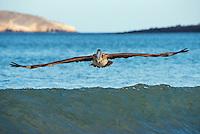 Brown Pelican fishing at Espumilla Beach on Santiago Island, Galapagos, Ecuador.