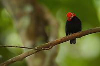Red-capped Manakin (Pipra mentalis).Adult male at his display perch...Location:  N 09º09.38', W79º44.56'.Soberama National Park, Gamboa, Panama.