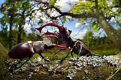 Sequence 5/6) - Rivals Stag beetle (Lucanus cervus) two males displaying aggressive behaviour on oak tree branch. Biosphere Reserve 'Niedersächsische Elbtalaue' (Lower Saxonian Elbe Valley), Germany   Serie (5/6) - Hirschkäfer-Männchen (Lucanus cervus) dulden sich nicht auf dem gleichen Eichenast und so kommt es immer wieder zu kleinen Kämpfen, bis ein Kafer vom Ast fällt oder flieht. Elbtalauen, Deutschland