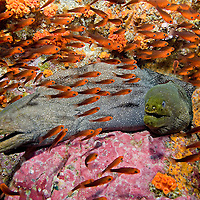 A pair of Fine-Spotted Morays and School of Cardinalfish
