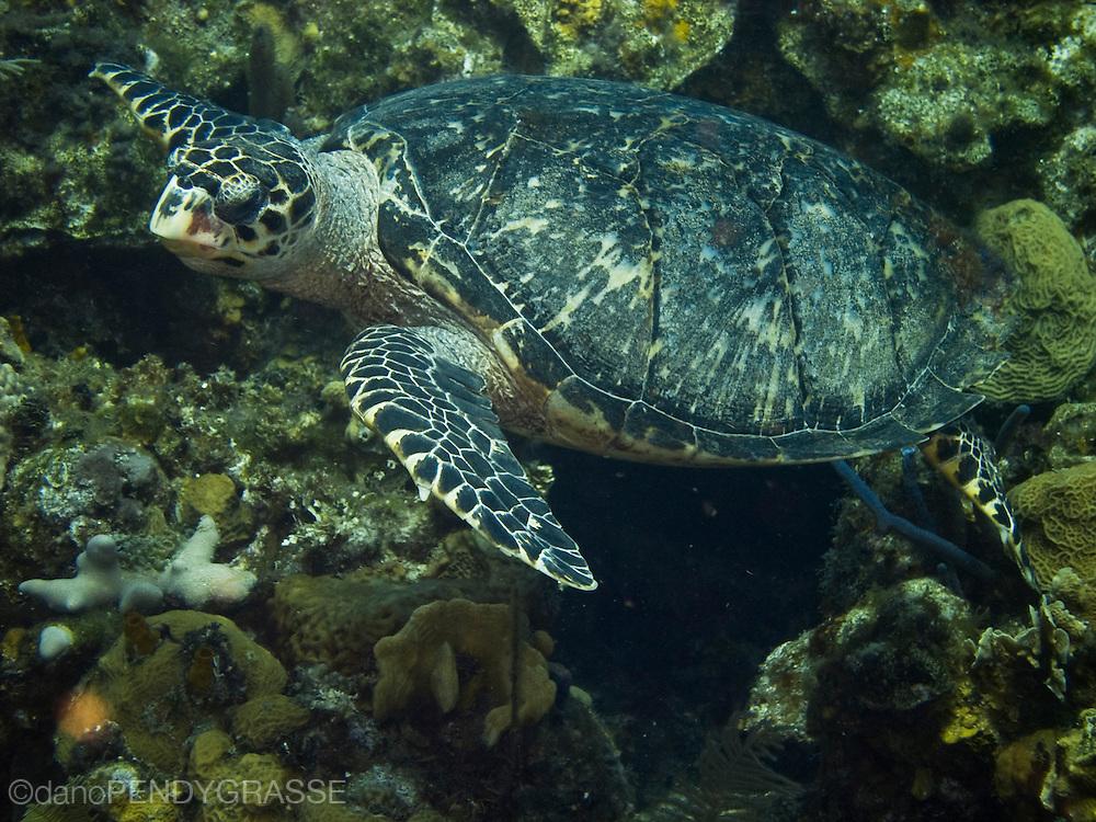 A Hawksbill turtle (Eretmochelys imbricata) lazily makes its way over the reef near Roatan, Honduras.