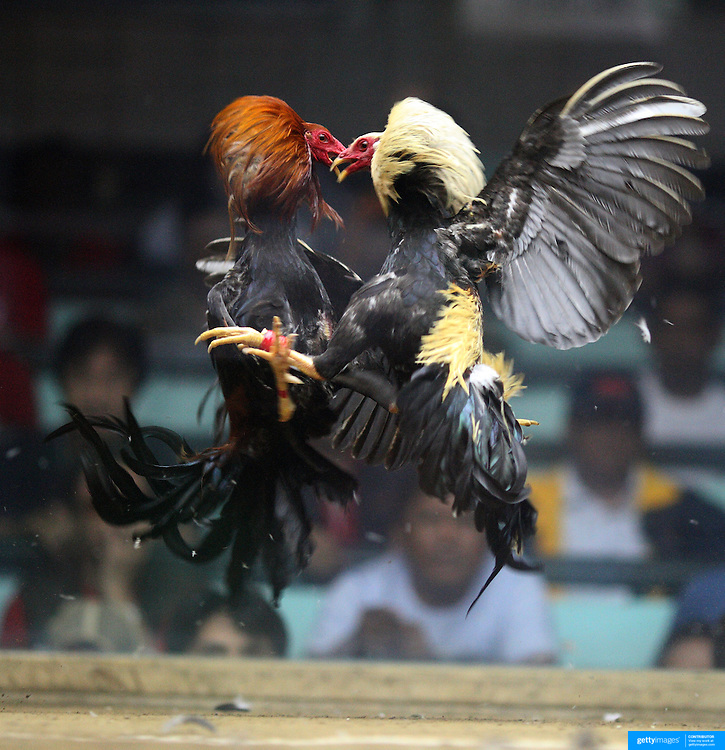 Cock fighting philippine pinoy sabong