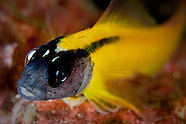 Forsterygion flavonigrum (Yellow-black triplefin)