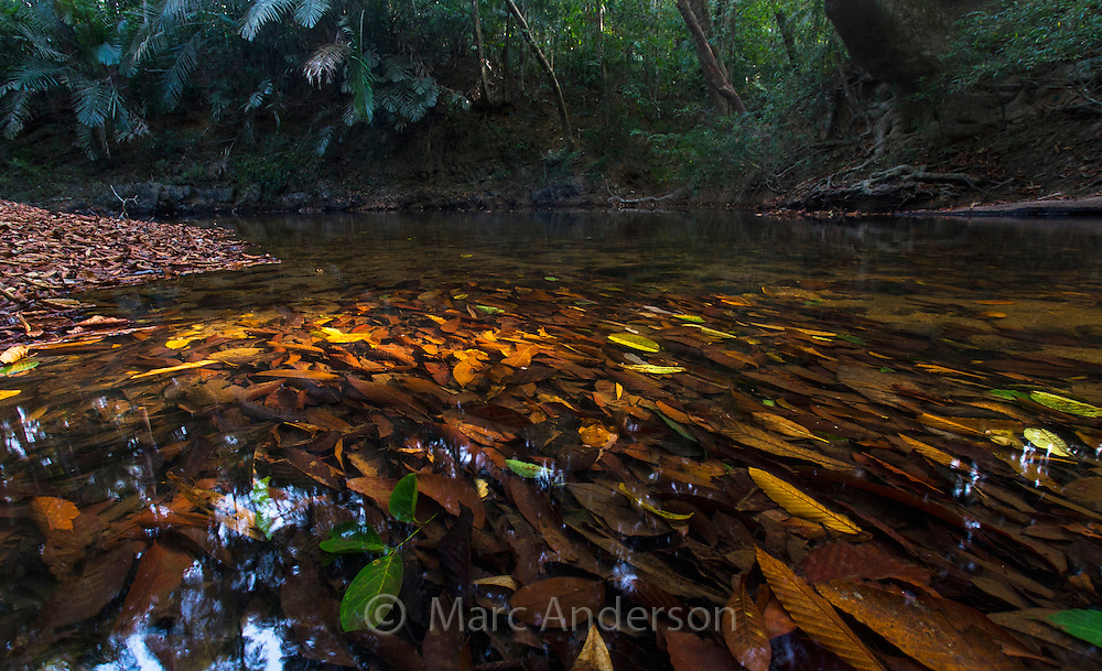 Leaves in a freshwater stream, in tropical rainforest in Taman Negara National Park, Malaysia