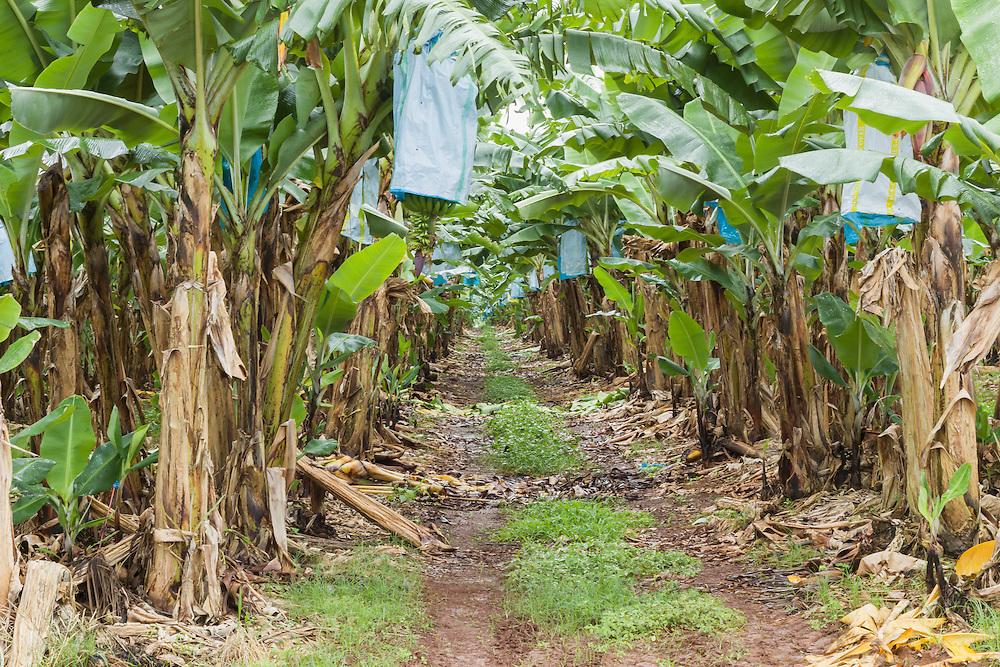 Dirt track through banana tree plantation in tropical Far North Queensland, Australia