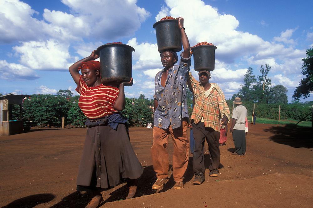 Africa, Kenya, Ruira, Pickers empty buckets of  Arabica coffee beans harvested on Socfinaf's Oakland Estates coffee plantation