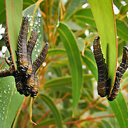 Caterpillars feast on green leaves in Western Australia. Stirling Range National Park was declared in 1913 and is now an ecological island in a sea of farmland. 1500 species of flora are packed within the park, more than in the entire British Isles. 123 orchid species grow here. 87 plant species found in the Stirling Range occur nowhere else on earth.