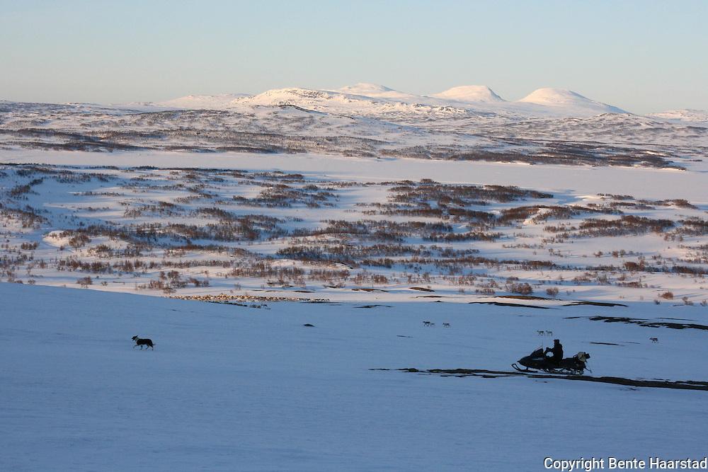 Vårflytting i Essand reinbeitedistrikt. Simleflokken passerer Øyfjellet og er på veg nordover mot Skarpdalen, til kalvingsområdet og sommerbeitet. I bakgrunnen Essandsjøen, og Blåhammaren og Snasahøgerna i Sverige.