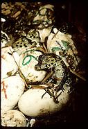 BRAZIL 20102: CAIMANS