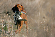 (BYERS, CO Shot on 4/10/05)  .Tanner hunts for the first time at the Bluffs Hunt Club in Byers, Co..(Photo by MARC PISCOTTY/ROCKY MOUNTAIN NEWS)