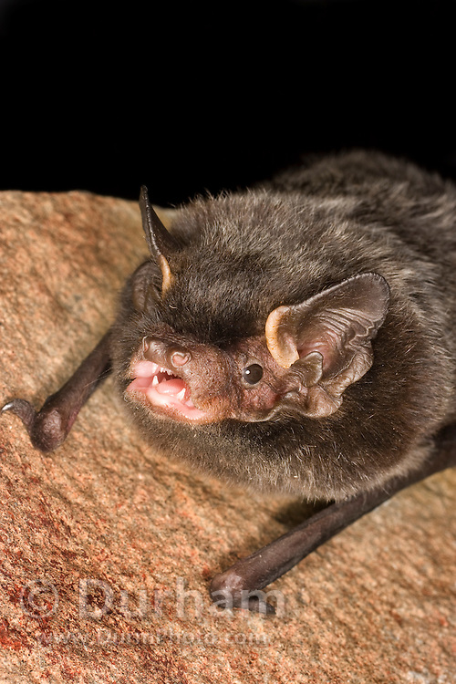 A silver-haired bat (Lasionycteris noctivagans) that was rescued as a pup, raised to adulthood, and ready for release into the wild. Flying at night in Central Washington.