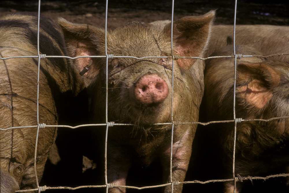 Closeup of pig with snout through fence, pig farm in southern New Jersey.
