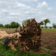A fallen tree lies on the edge of a field of millet, planted in small raised mounds, in the village of Berwong in the Upper West Region of Ghana.