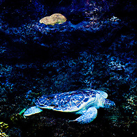 TAMPA, FL -- A sea turtle who was hit by a boat rests in the coral reef exhibit at the Florida Aquarium in Tampa, Florida.  The aquarium boast numerous exhibits and ecosystems such as the Wetlands Trail, Bays and Beaches, Coral Reef, and Ocean Commotion.  (Photo / Chip Litherland)
