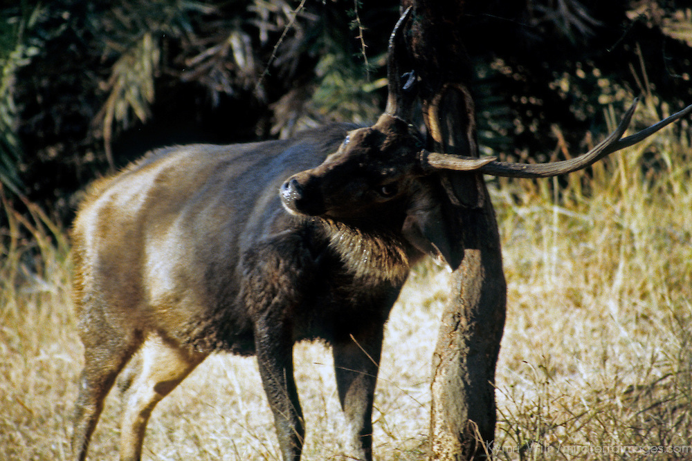 Asia, India, Ranthambore. Male Sambar Deer.