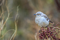 Cold fluffy Mocking Bird on the Outer Banks.