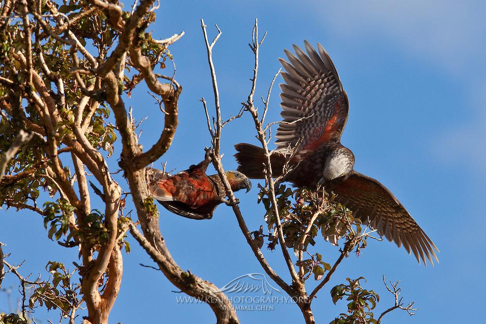 A pair of playful kaka parrots at Stewart Island, New Zealand