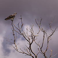 An Osprey (Pandion haliaetus) perches in the branches of a barren tree under stormy skies in Everglades National Park, Florida.