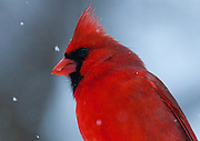 Wild male Cardinal