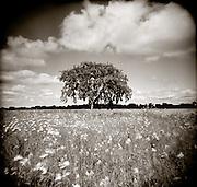 PL09010-00...MINNESOTA - Holga imahe of a lone tree in Buffalo River State Park along the Fire Break trail