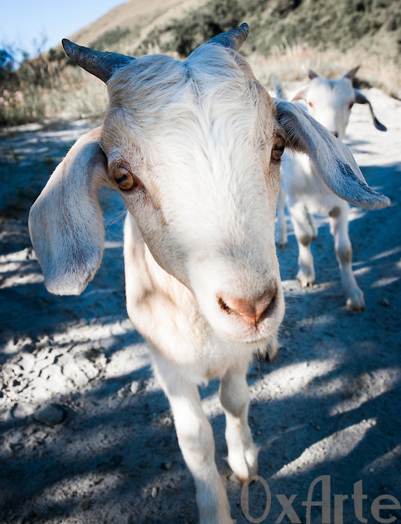 Curious pet goat approaching close to camera with a second goat behind him.