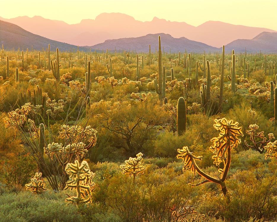 0112-1035LVT ~ Copyright: George H.H. Huey ~ Saguaro cactus [Carnegiea gigantea], jumping cholla [Opuntia fulgida], sunset with Bates Mountains in distance.  Sonoran Desert.  Organ Pipe Cactus National Monument, Arizona.