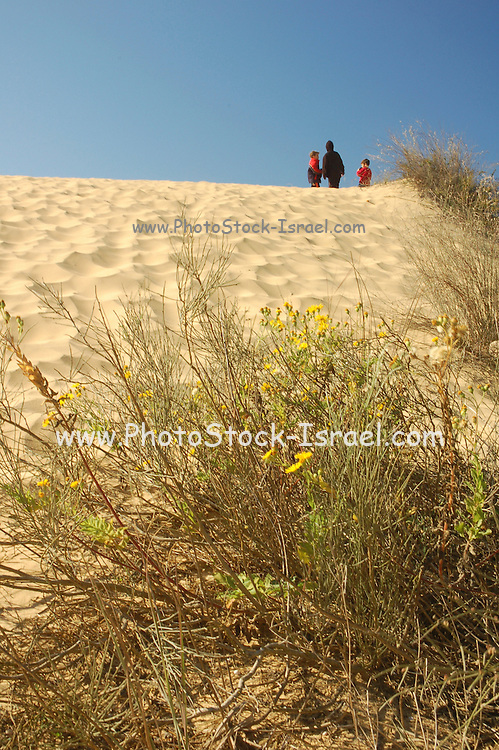 Israel, Palmachim, sand dune and well adapted Inula voscasa plants