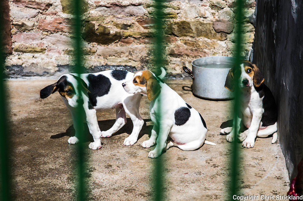 Abbotrule, Bonchester Bridge, Hawick, Scotland, UK. 9th July 2015. Foxhound pups of the Jedforest Hunt from bitch 'Rocket' enjoy the warm weather in their kennels in the Scottish Borders.