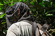 Gorilla tracking &amp; sweat bees (Guillem Molina)<br /> Ngaga forest<br /> Republic of Congo (Congo - Brazzaville)<br /> AFRICA