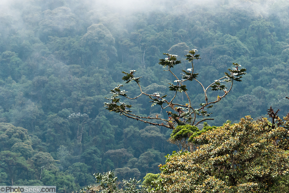 Trees reach into the mist of Bellavista Cloud Forest Reserve, near Quito, Ecuador, South America.