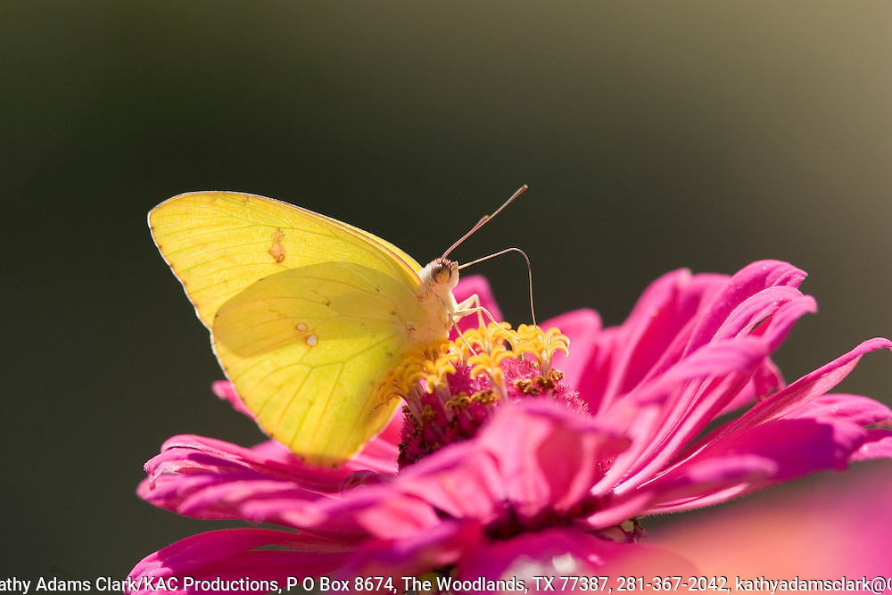 Cloudless sulphur butterfly, Phoebis sennae, on zinnia, Ft. Davis, TExas.