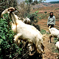 A woman keeps an eye on her goats just outside of Kunming, in the Yunnan province of China. (Photo/Scott Dalton)
