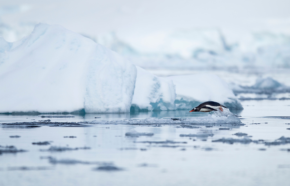 Antarctica, Wiencke Island, Gentoo Penguin (Pygoscelis papua) leaping from water while porpoising by icebergs near Port Lockroy