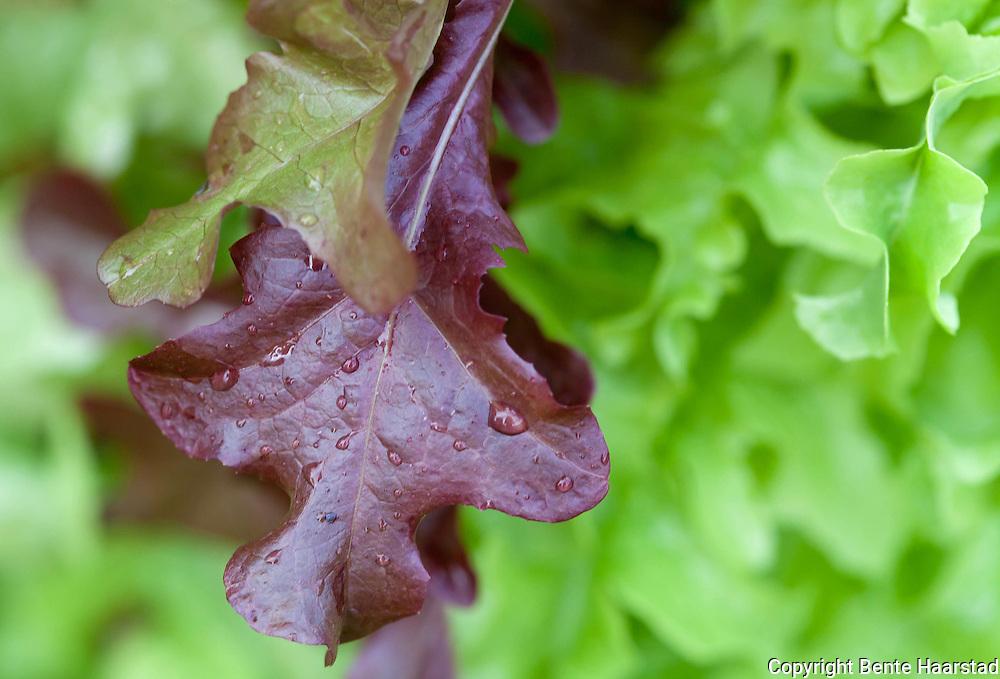 Lettuce in a kitchen garden. Plukksalat.