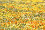 Antelope Valley Poppy Reserve Photos