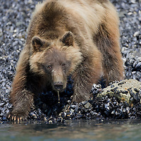 USA, Alaska, Glacier Bay National Park, Brown (Grizzly) Bear (Ursus arctos) digging for mussels at low tide along Russell Inlet