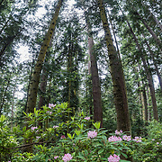 Native rhododendron flowers (in the heath family, Ericaceae) bloom pink-magenta in this vertical panorama on May 19, 2015 at the southern base of Goose Rock Summit Trail in Deception Pass State Park, on Whidbey Island, in Washington, USA.  This panorama was stitched from 9 overlapping photos.