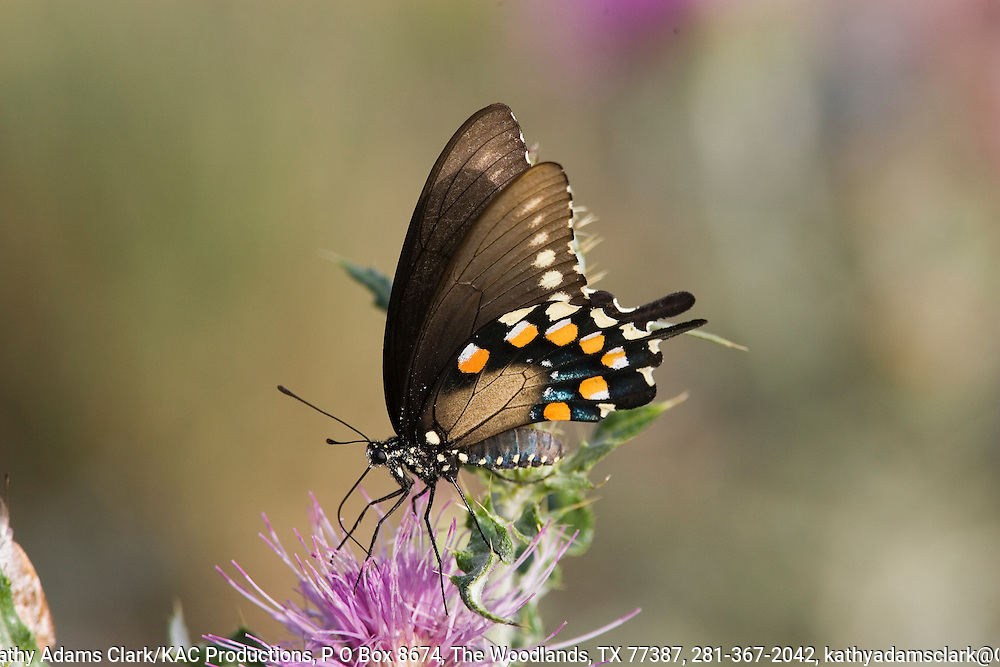 Pipevine swallowtail, Battus philenor, below, on thistle, Big Bend National Park, Texas.