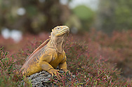 The Land Iguanas of the Mosquera Islet are quite large.  This male was perched on a rock giving me a very condescending look while warming up in the sun.