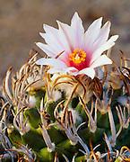 6105-1026 ~ Copyright:  George H. H. Huey ~ [Turbinicarpus schmiedickeanus var. schmiedickinus].  Very rare in the wild.  Prized by cactus collectors.  Chihuahuan Desert.  Tamaulipas State, Mexico.