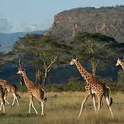 Group of giraffes walking through savannah, Lake Nakuru National Park, Kenya.