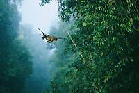 A proboscis monkey, her infant holding tight, makes a flying leap..Lower Kinabatangan Wildlife Sanctuary, Borneo Island.
