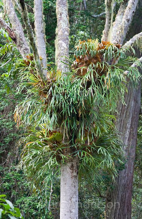 A big Staghorn Fern (Platycerium) growing on a tree, Barrington Tops, Australia