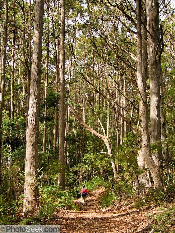 Hike through forest to Cape Raoul, Tasman National Park, Tasmania, Australia.