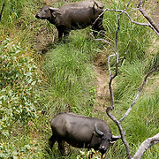 The Ghan.  Water Buffalo at Katherine Gorge, Northern Territory, Australia.