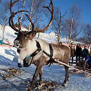 Reindeers - Rørosrein