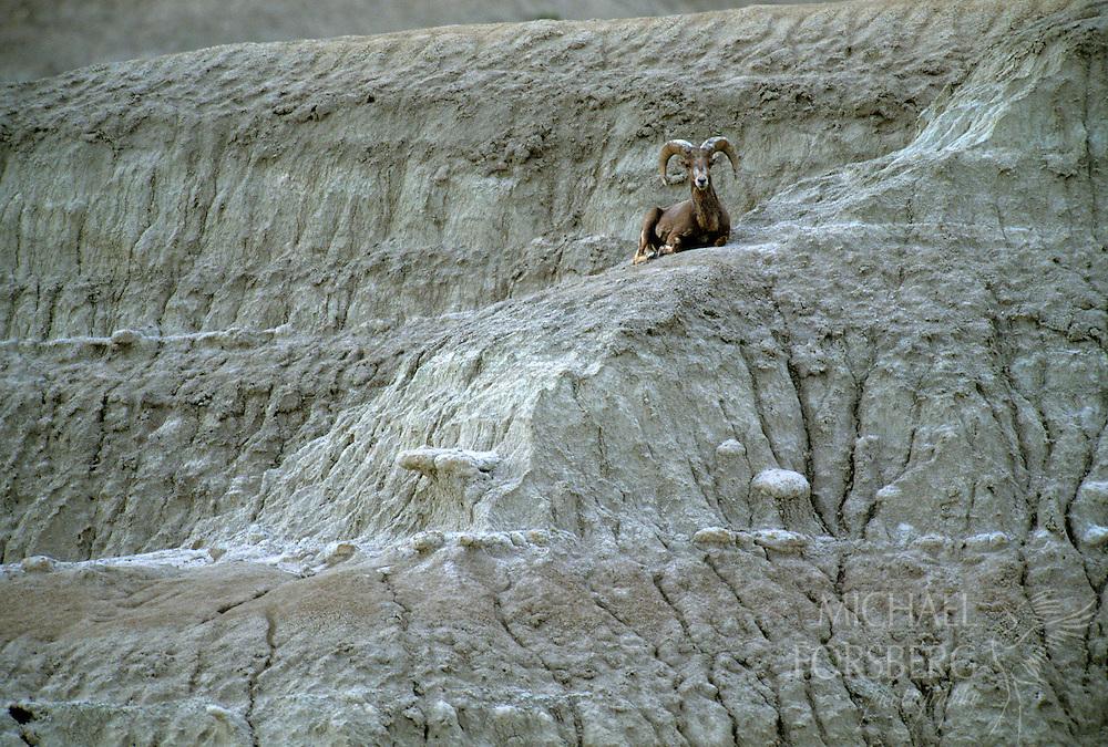 Conata Basin, Buffalo Gap National Grassland, South Dakota..Bighorn ram rests on slope of badlands formation in prairie dog town