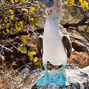 "The Blue-footed Booby (Sula nebouxii) nests on North Seymour Island, part of the Galápagos archipelago, a province of Ecuador 972 km offshore west of the continent of South America. The Sulidae family comprises ten species of long-winged seabirds. The name ""booby"" comes from the Spanish term bobo, which means ""stupid"" or ""fool/clown,"" which describes its clumsy nature on land. Like other seabirds, they can be very tame. Blue-footed Boobies breed in tropical and subtropical islands of the Pacific Ocean."